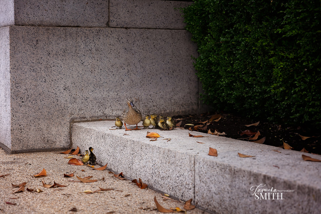 Ducklings in Washington DC at The National Archives Museum