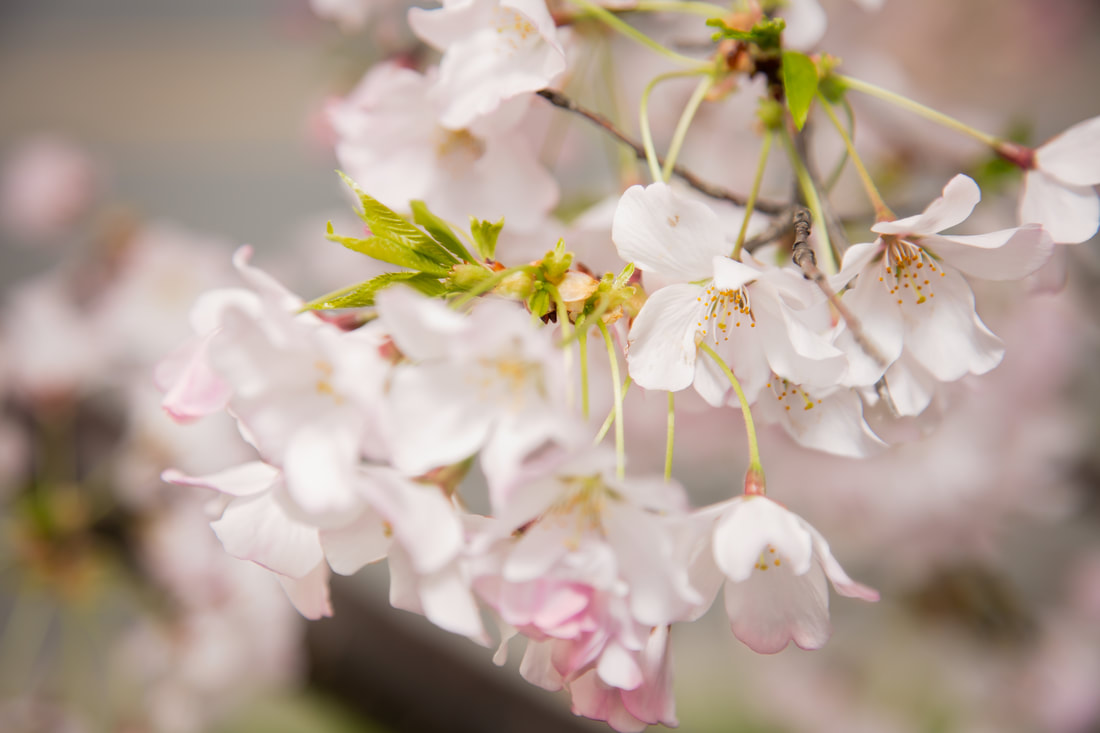 Friday Fives Washington D.C. Cherry Blossom Tips by Northern Virginia and Los Angeles Family Photographer